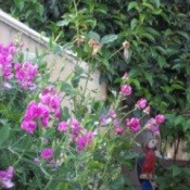 Lavendar pink sweet peas in the garden.