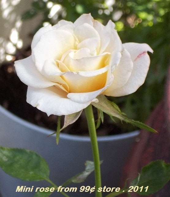 A pale ivory open rose.