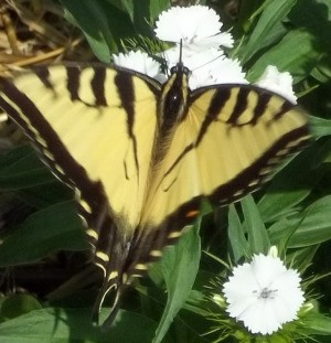 A black swallowtail butterfly on Sweet William.