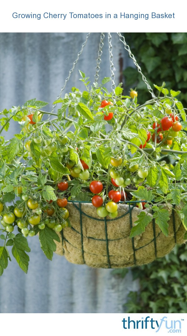 Cherry Tomatoes For Hanging Baskets