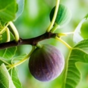 Photo of a growing fig