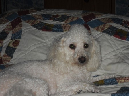 A white poodle on a bed.