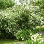 Photo of a Mock Orange bush.