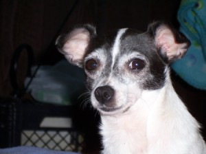 Close up of small black and white dog
