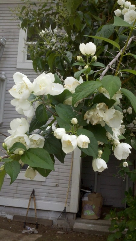 Vine with White Flowers