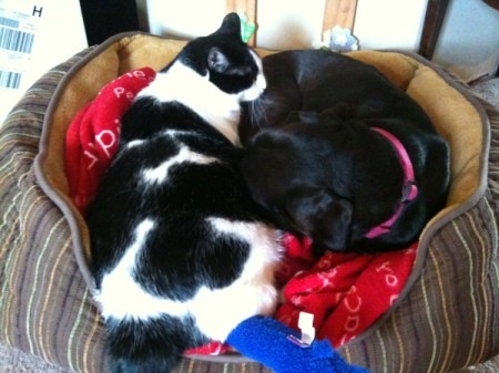 One big black and white cat sleeping in a dog bed with a black dog.