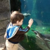 A young boy at the zoo, looking into a glass tank of penguins.