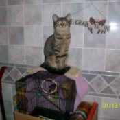 Grey tabby cat on top of a birdcage.