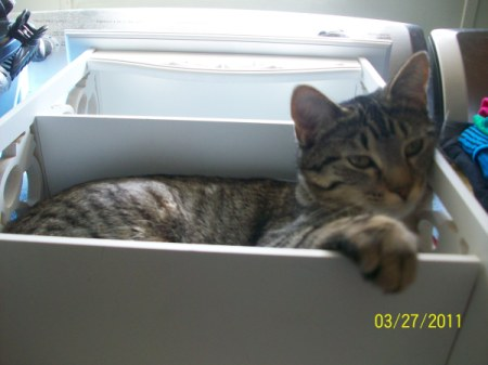Grey tabby in a box.
