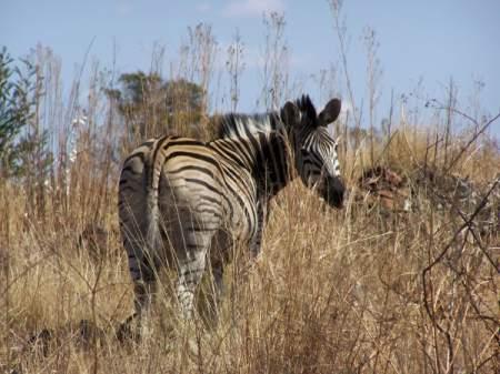 A zebra from Groenkloof Nature Reserve in Pretoria
