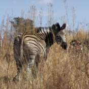 A zebra from Groenkloof Nature Reserve in Pretoria