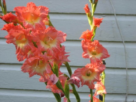 Coral orange gladiolus in bloom.