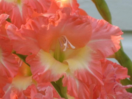 A close up of an coral orange gladiolus in bloom.