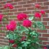 A wild rose bush.