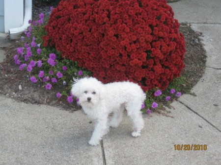 A white poodle outside.