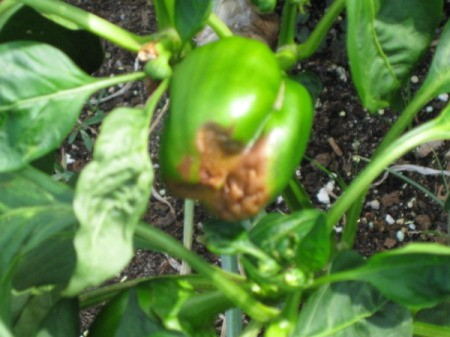 Bell pepper with brown spot on blossom end.