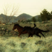 Wild horses running in Nevada.