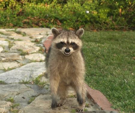 Fierce raccoon standing up outside.