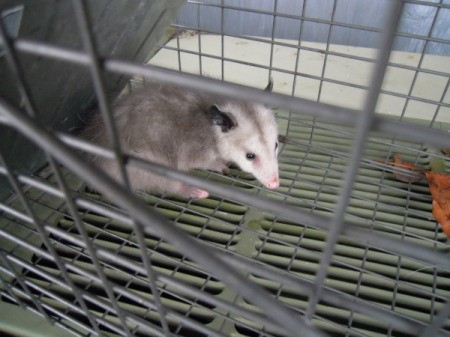 Photo of a baby possum