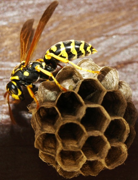 A queen wasp on her nest.
