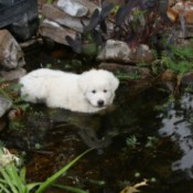 Pinkie (Great Pyrenees)