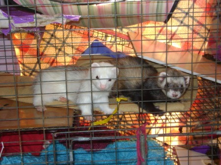 A white ferret and a brown ferret in a cage.