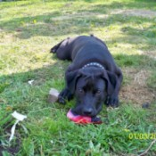 Black Lab type dog laying on the grass