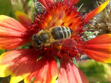 Bee on a red and yellow flower