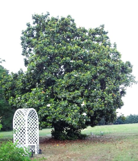 A large magnolia tree.