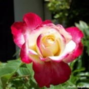 Double Delight Rose Close