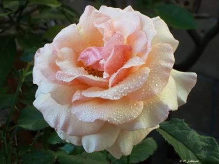 No Name Rose