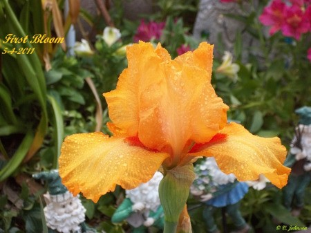 A yellow iris bloom.