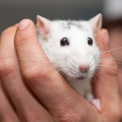 A white pet rat being held in a hand.