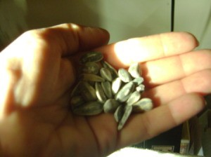 A handful of sunflower seeds in shell.