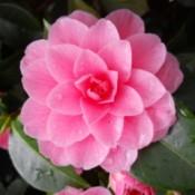 A pink camellia blossom.