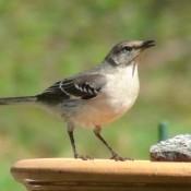 A female mockingbird perched on a birdbath.