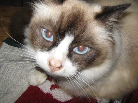 A ragdoll grey and white cat with blue eyes.