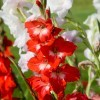 red and white gladioli