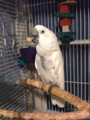 A white bird perched on a branch in a cage.