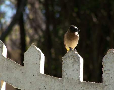 A brown bulbul from South Africa.