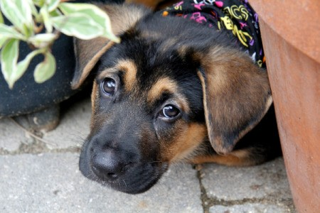 A German Shepard puppy on a patio outside.