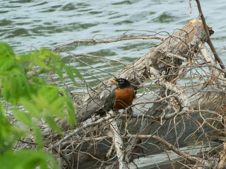 A robin on a log near water.