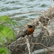 A robin on a log near water.