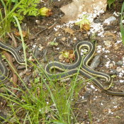Two garter snakes on the ground.