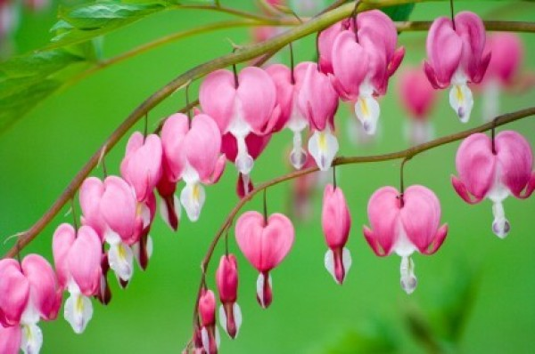 Growing bleeding heart thriftyfun pink bleeding heart flowers mightylinksfo