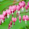 Pink bleeding heart flowers