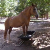 A brown mare standing in her feed trough outside.