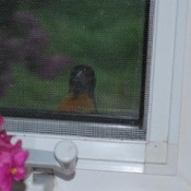 An oriole looking through the window from outside.