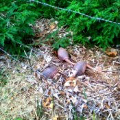 Baby armadillos outside in Louisiana.