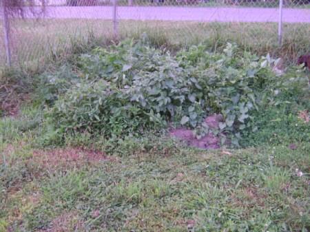 A potato patch in a backyard.